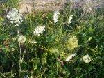 SS carota selavatica, nasturzio seminato, trifoglio bianco, potentilla
