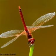 Sympetrum fonscolombii web